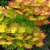 Picture of Acer Shirasawanum Aureum
