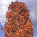 Picture of Acer Scanlon