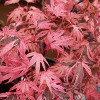 Picture of Acer Shiraz