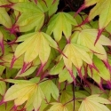 Picture of Acer Tsuma Gaki