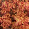 Picture of Acer Ueno Yama