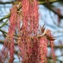 Picture of Acer Violaceum