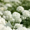 Picture of Achillea The Pearl