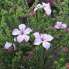 Picture of Acmadenia Pink Butterflies