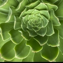 Picture of Aeonium Canariens Giant