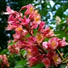 Picture of Aesculus Carnea