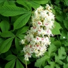 Picture of Aesculus Hippocastanum