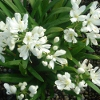 Picture of Agapanthus Agapetite
