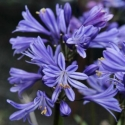 Picture of Agapanthus Charlotte