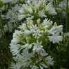 Picture of Agapanthus Finn