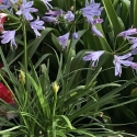 Picture of Agapanthus Mini Me