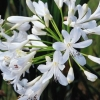 Picture of Agapanthus Pavlova
