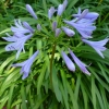 Picture of Agapanthus Peter Pan