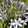 Picture of Agapanthus Silver Baby