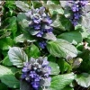 Picture of Ajuga Catlin's Giant