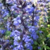 Picture of Ajuga Jungle Beauty