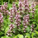 Picture of Ajuga Pink Spire