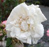 Picture of Alba Maxima-Rose
