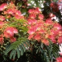 Picture of Albizia Rosea