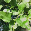 Picture of Alnus Rubra
