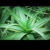 Picture of Aloe Vera