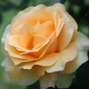 Picture of Aloha (Yellow)-Rose
