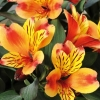 Picture of Alstroemeria Indian Summer
