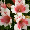 Picture of Alstroemeria Maya