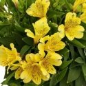 Picture of Alstroemeria Rio