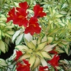 Picture of Alstroemeria Rock n Roll