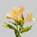 Picture of Alstroemeria Summer Glow