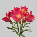 Picture of Alstroemeria Summer Red