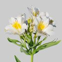 Picture of Alstroemeria Summer Sky