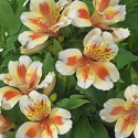 Picture of Alstroemeria Sunset