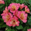 Picture of Alstroemeria Sunshine