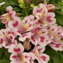 Picture of Alstromeria Flamingo