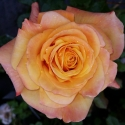 Picture of Amber Flush-Rose