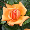 Picture of Amber Nectar-Rose