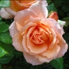 Picture of Angels Delight-Rose