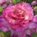 Picture of Antique Affair-Rose