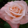 Picture of Aotearoa-Rose