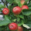 Picture of Apple Blush Babe Std 60cm