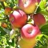 Picture of Apple Cameusa de llObregrate MM106