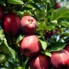 Picture of Apple Dble Red Delicious/Golden Delicious