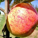 Picture of Apple Dble Royal Gala/Peasgood Nonsuch MM106