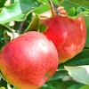 Picture of Apple Dble Royal Gala/Splendor