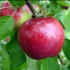 Picture of Apple Dble Sir Prize/Liberty