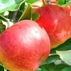 Picture of Apple Dble Splendour/Golden Delicious MM106