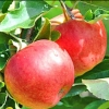 Picture of Apple Dble Splendour/Granny Smith MM106