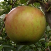 Picture of Apple Divine dwf M26
